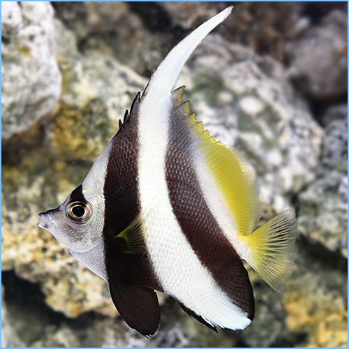 Heniochus Black & White Butterflyfish or Longfin Bannerfish