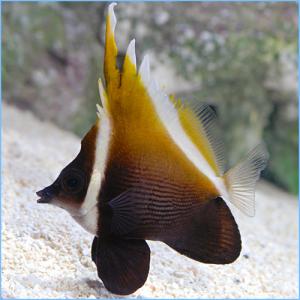 Heniochus Brown Butterflyfish or Humphead Bannerfish