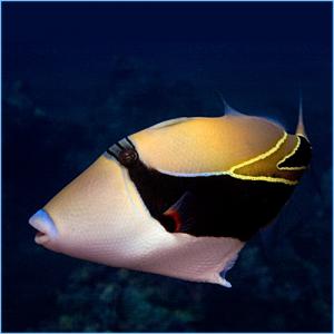 Humu Rectangle Triggerfish or Wedge-Tailed Triggerfish