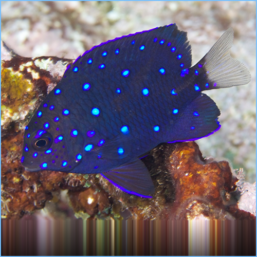 Jewel Damselfish or Yellowtail Damselfish Juvenile