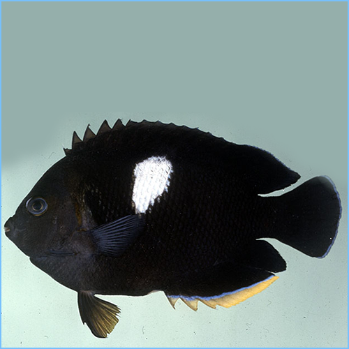 Keyhole Angelfish or Puller Angelfish