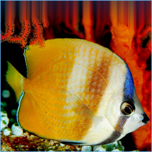Klein's Butterflyfish or Corallicola Butterfly