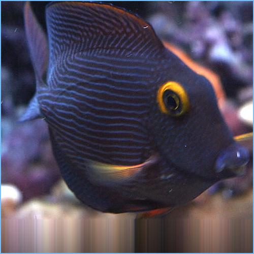 Kole Tangfish or Goldring Surgeonfish