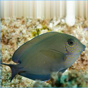 Lavender Tang Fish or Spot-Cheeked Surgeonfish