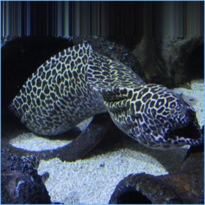 Leopard Moray Eel or Dragon Moray Eel