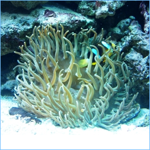 Long-Tentacled Anemone