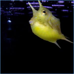 Longhorn Cowfish or Horned Boxfish