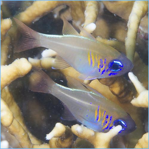 Longspine Cardinalfish or Threadfin Cardinalfish