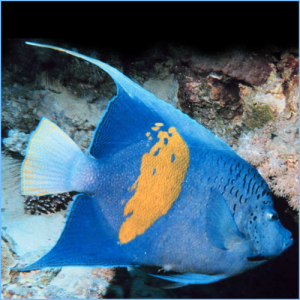 Maculosus Angelfish or Halfmoon Angelfish