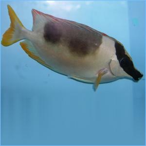 Magnificent Andaman Foxface or Magnificent Rabbitfish