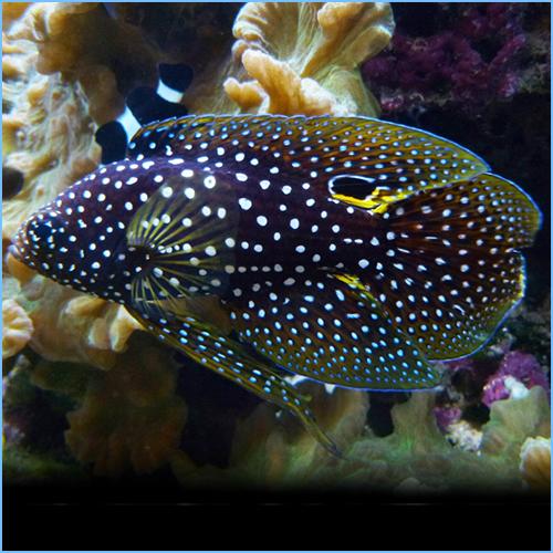 Marine Betta Grouper Fish