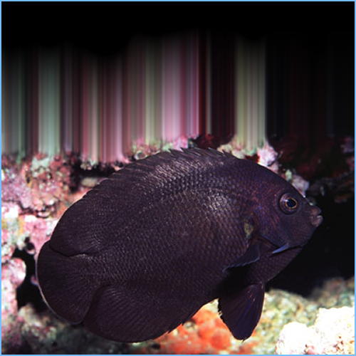 Midnight Angelfish or Black Pygmy Angelfish