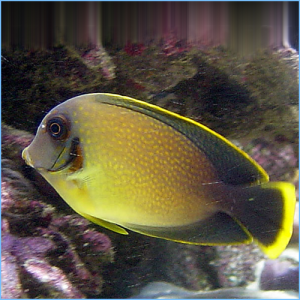 Mimic Lemon Peel Tangfish or Chocolate Surgeonfish