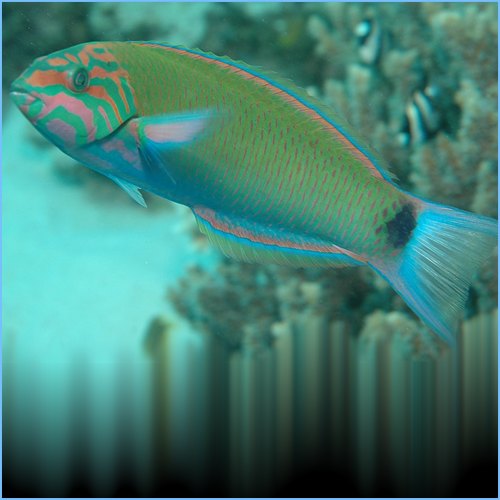 Moon Wrasse or Cresent Wrasse