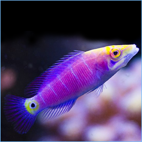 Mystery Wrasse or Whitebarred Wrasse