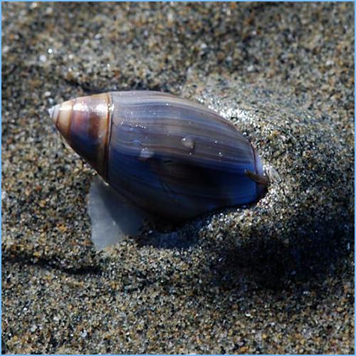 Olive Snails or Olive Shells