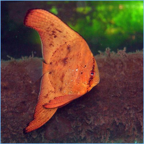 Orbicular Batfish or Circular Batfish