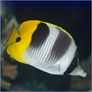 Pacific Double-Saddle Butterflyfish or False Furcula Butterflyfish