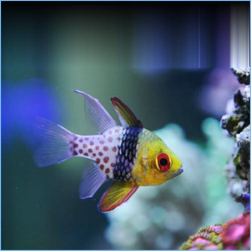 Pajama Cardinalfish or Coral Cardinalfish