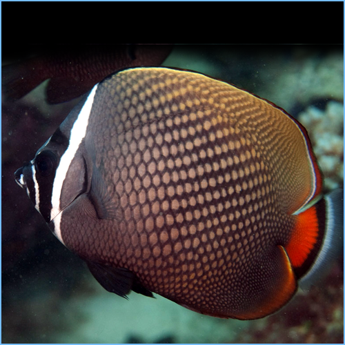 Red-Tailed Butterflyfish or Pakistani Butterflyfish