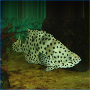 Panther Grouper Fish or Polka Dot Grouper