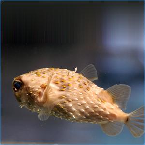 Porcupine Pufferfish or Porcupinefish