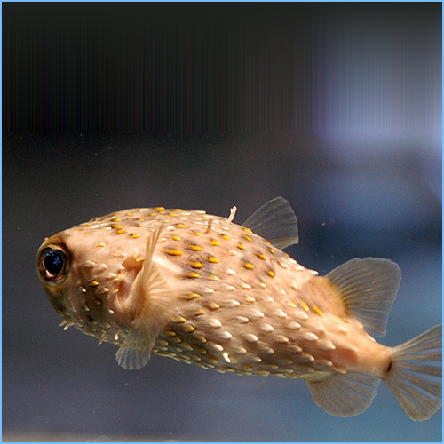 Porcupine Pufferfish or Porcupinefish