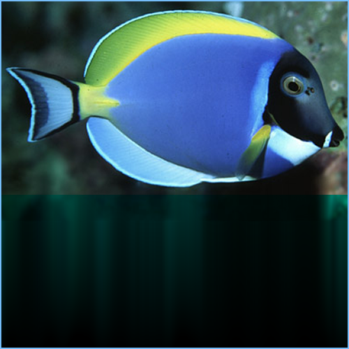 Powder Blue Tangfish orPowder Blue Surgeonfish