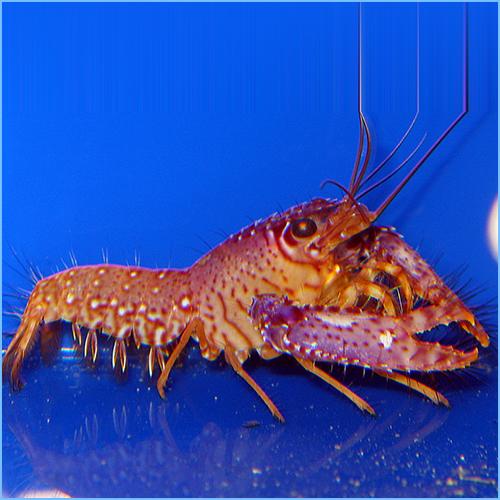 Purple Lobster