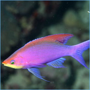 Purple Queen Anthia Fish or Yellow Striped Fairy Basslet