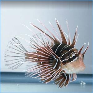 Radiata Lionfish or Radial Firefish