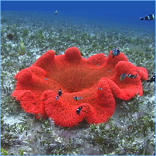 Red Carpet Anemone or Giant Anemone