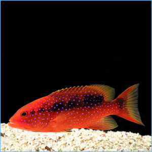 Red Louti Grouper or Cherry Louti Grouper Fish