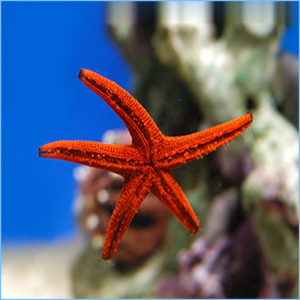 Red Sea Star or Red Starfish