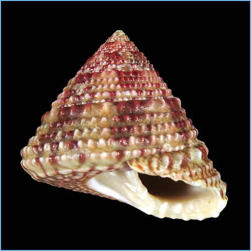 Red Stripe Trochus Snail or Radiate Top Shell