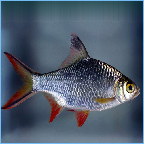 Red Tail Tinfoil Barb