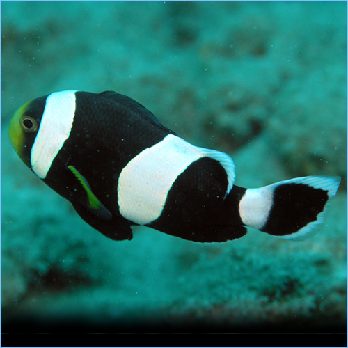 Saddleback Clownfish or Yellowfin Anemonefish