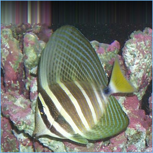 Sailfin Tangfish