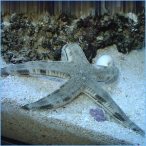 Sand Sifting Sea Star