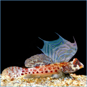 Blenny Fish / Blennies