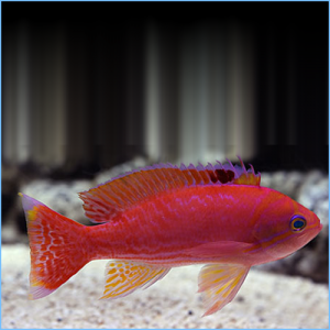 Scribbled Anthias or Twospot Anthia Fish Male