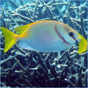 Rabbitfish Fish