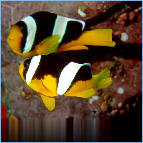 Sebae Clownfish or Sebae Anemonefish