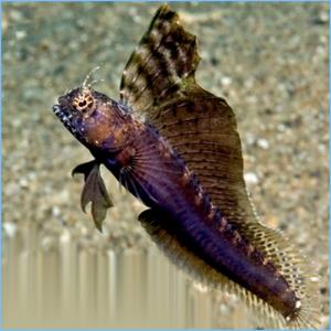 Segmented Sailfin Blenny or Segmented Blenny