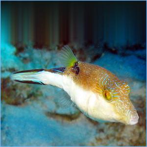 Caribbean Sharpnose Tobyor Atlantic Toby Pufferfish