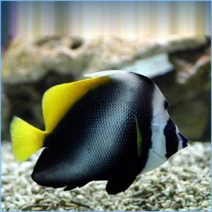 Singular Bannerfish