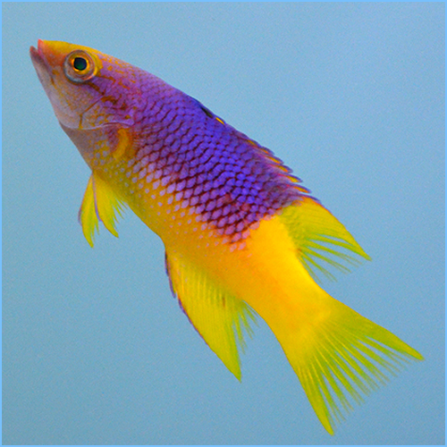 Spanish Hogfish or Spanish Wrasse