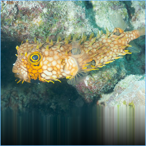 Spiny Box Puffer or Web Burrfish