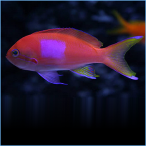 Squareback Anthias or Purple Blotch Basslet Male