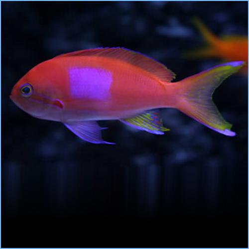 Squareback Anthias or Purple Blotch Basslet Male